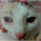 Глазная патология Симблефарон у кошки
