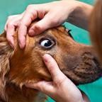 Конъюнктивит у домашних животных