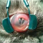 Язва роговицы у кошки до операции ( прободная язва роговицы)