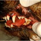 Зубной камень у домашних животных