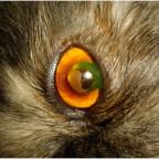 Корнеальный секвестр кошек