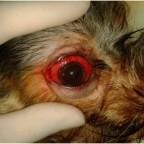 Выпадение глазного яблока (Prolapsus oculi)