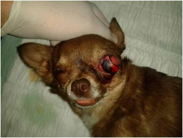 у собаки выпадают глаза фото