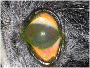 Этиология и патогенез  сухого кератоконъюнктивита собак.