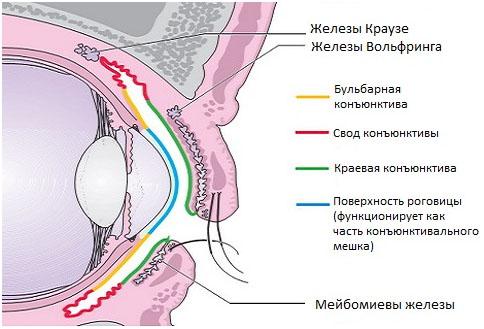 Герпесвирусный (FHV) кератоконъюнктивит кошек.